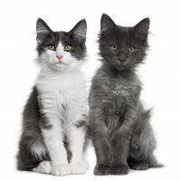 Kaksi kissaa