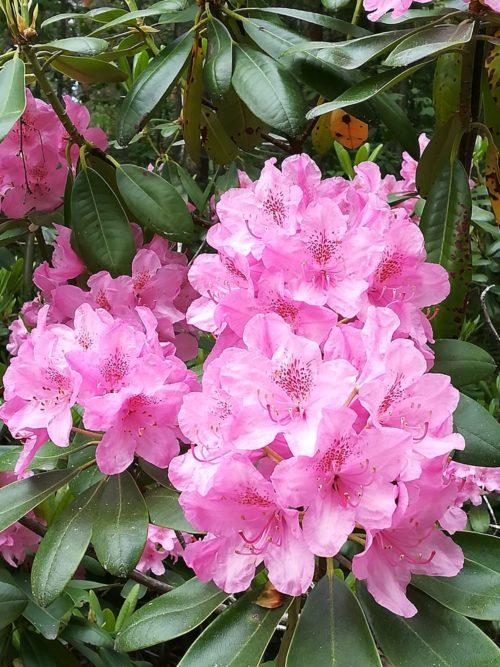 Pinkki kukka.
