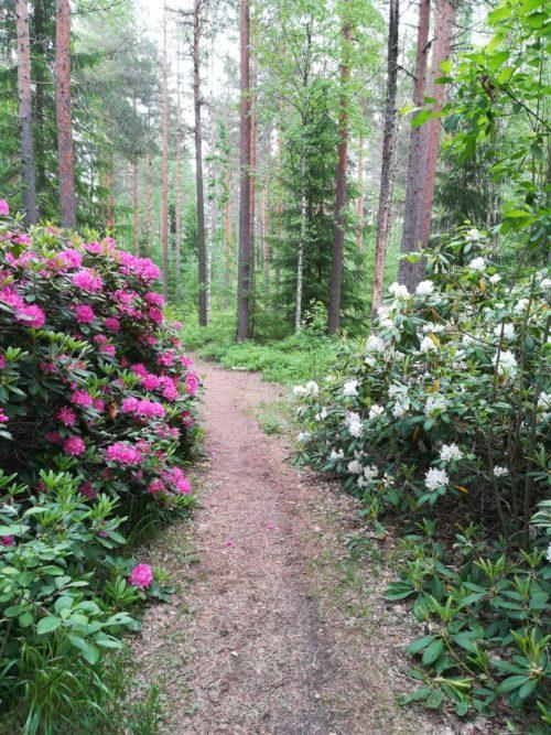 Metsäpolku, jonka varrella kukkivia pensaita.