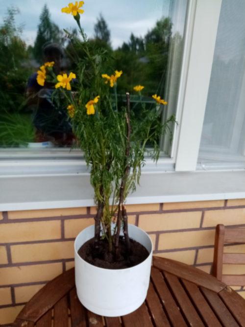 Keltainen kukka pihapöydällä.