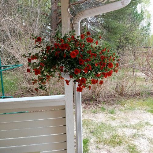 Punainen kukka amppelissa, terassilla.